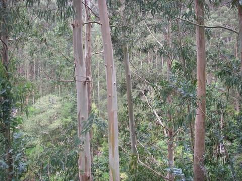 28Eucalyptus.jpg