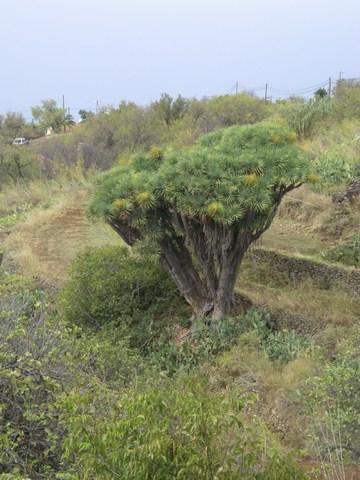 12-Las Tricias - arbre dragon.jpg