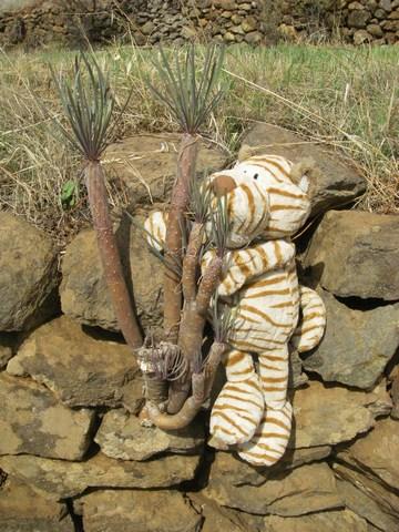 15-Hobbes a trouvé un cactus sans épines.jpg