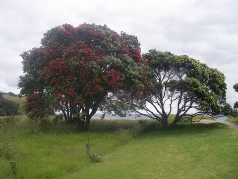kiwiChristmasTrees.jpg